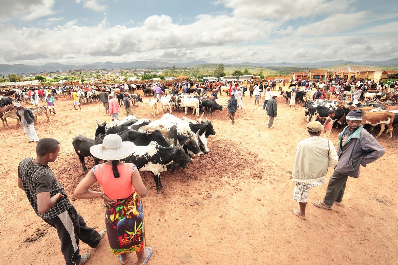 Le marché aux Zébus d'Ambalavao
