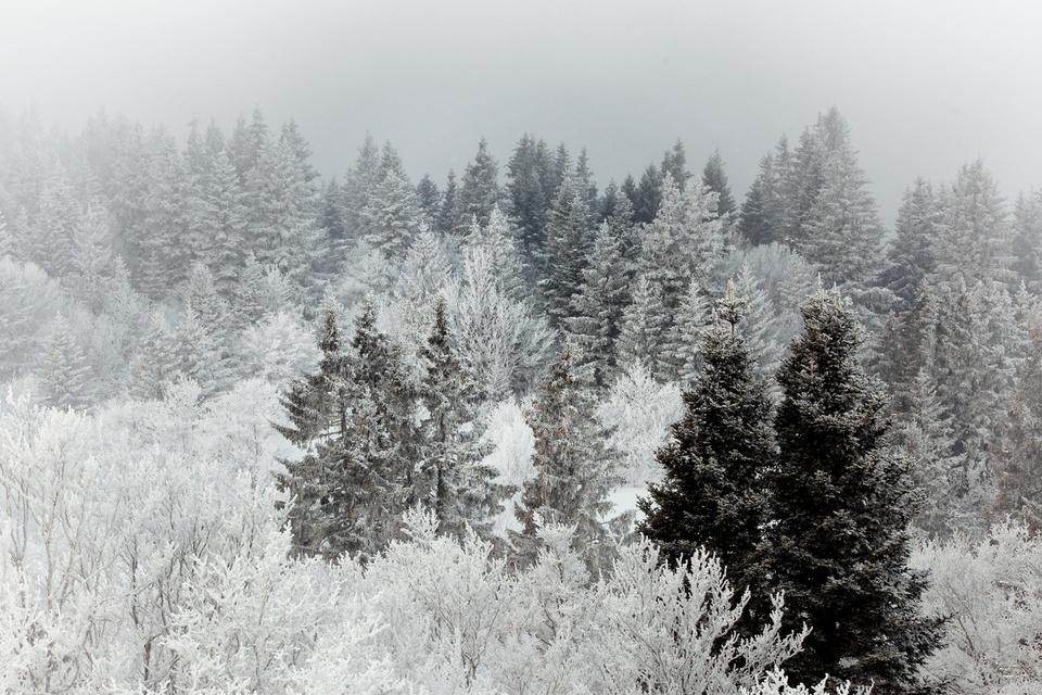 Cimes d'une forêt du Vercors dans les nuages et sous la neige, Vercors, février 2012