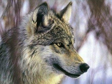 Un loup abattu dans le Vercors